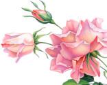 Lyserød rose