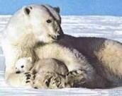 Isbjørn & unge