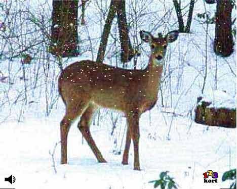 Rådyr i sne