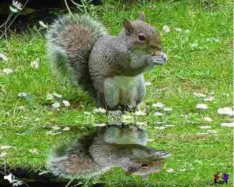 Grå egern